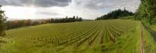 The 'new' half of Abbey Ridge Vineyard near sunset (by Matt Giraud)