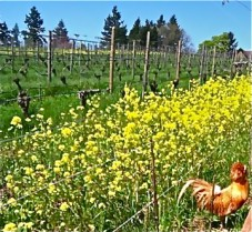 Ziggy Stardust enjoying a Spring day in the Clos Electrique vineyard