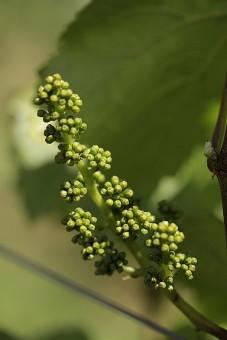Pinot noir bud in Clos Electrique. Photo by Jeremy Fenske.