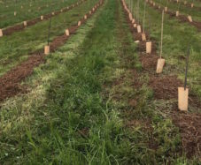 mulched vine rows