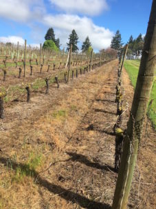 A vineyard sprayed with Roundup